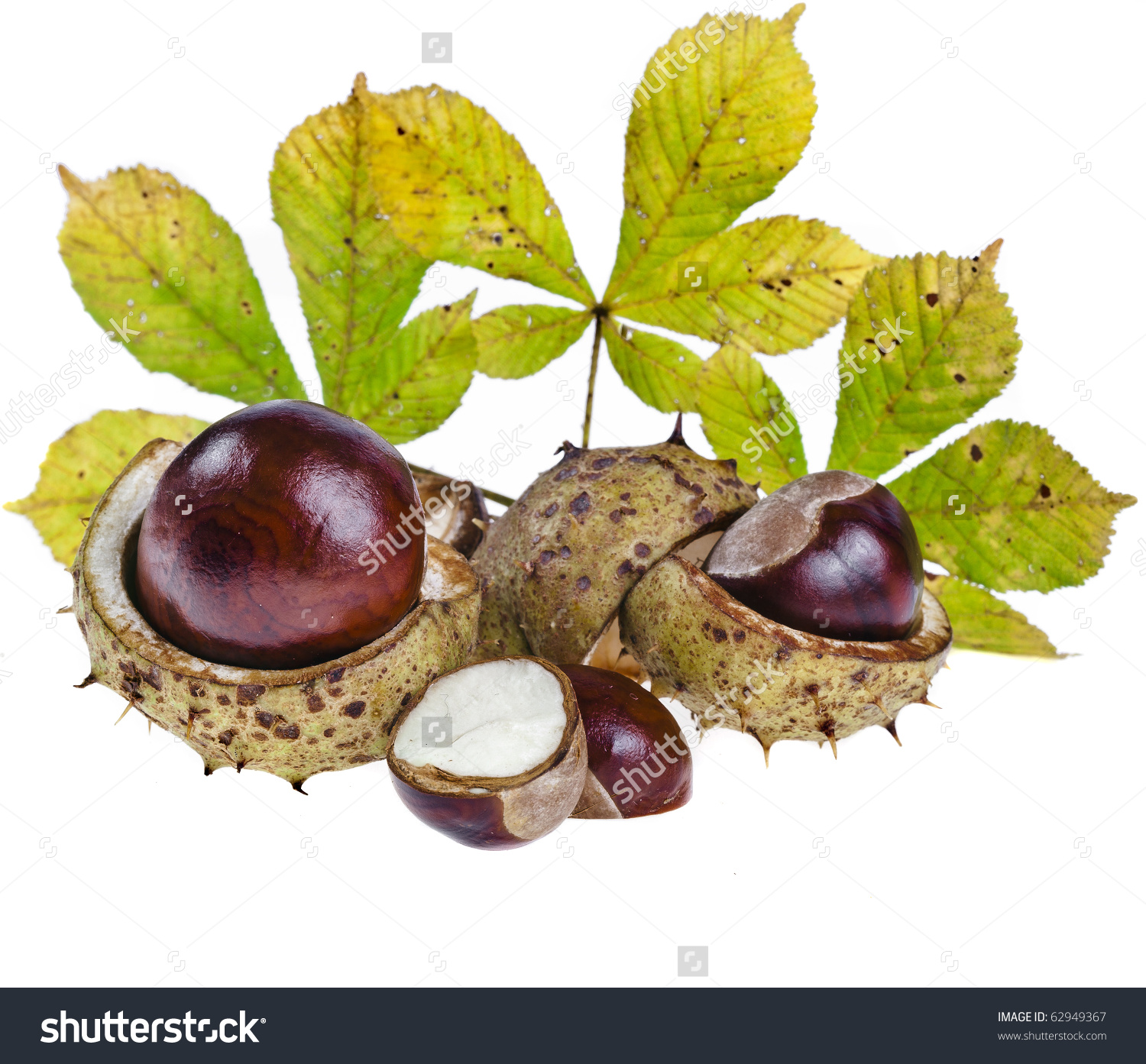 Horse Chestnuts Aesculus Conker Buckeye Isolated Stock Photo.