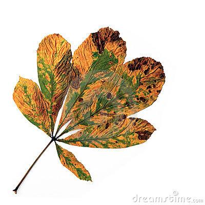 Leaf Of A Horse.