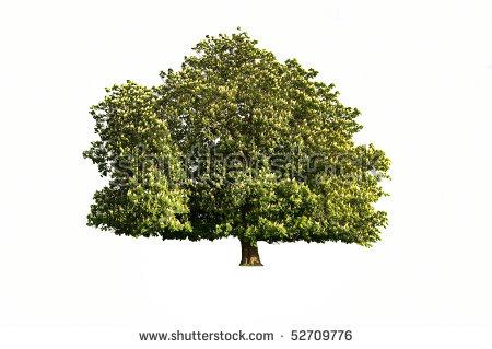 Popular Free Chestnut trees Photos.