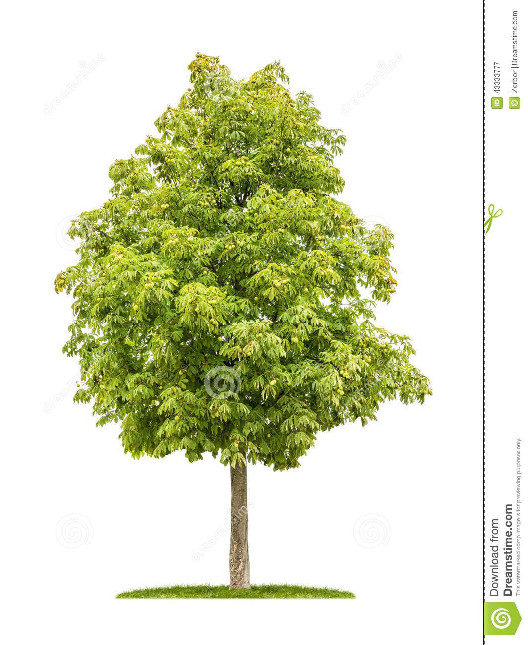 Horse Chestnut Tree On A White Background Stock Photo.