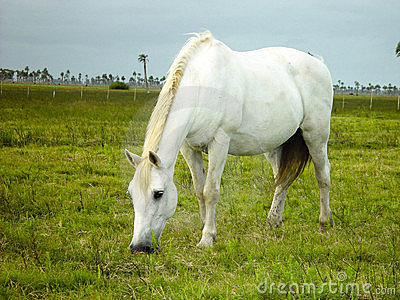 White Horse Eating Grass Stock Photography.