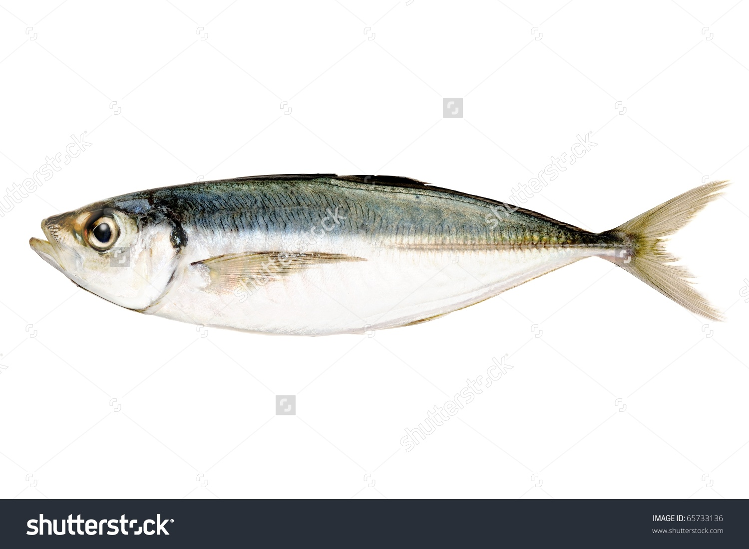 Horse Mackerel Japanese Jack Mackerel Stock Photo 65733136.