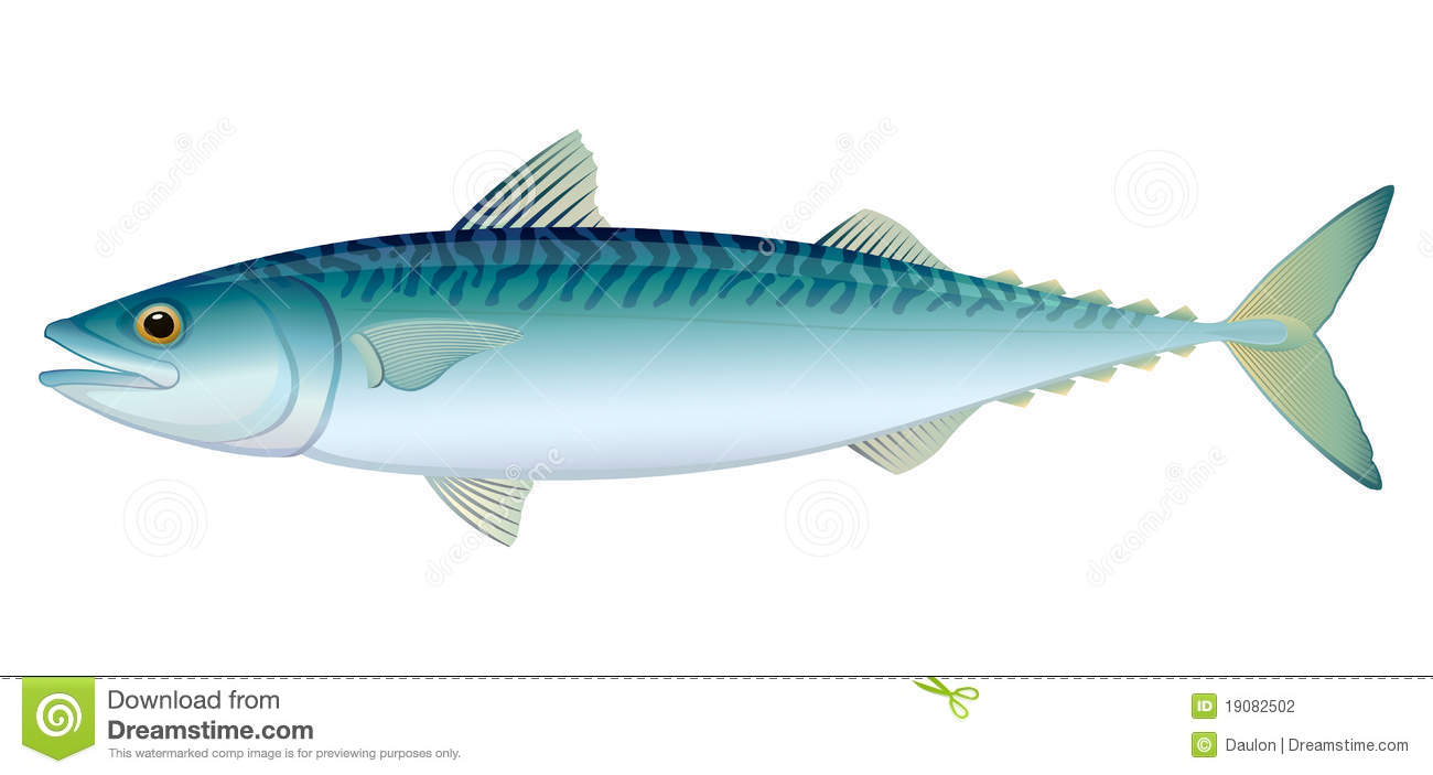 Atlantic Mackerel Stock Illustrations.