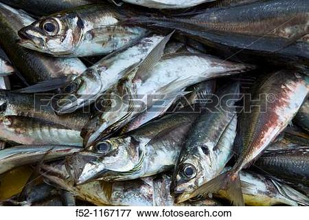 Picture of Atlantic horse mackerel, port of Santoa, Cantabrian Sea.
