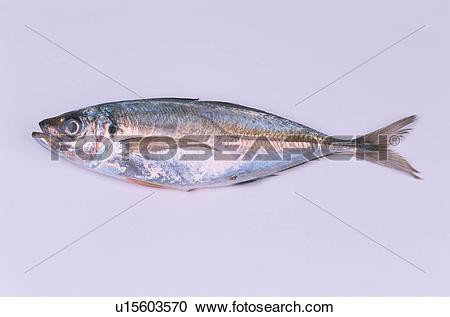 Stock Photography of Dead Horse Mackerel u15603570.