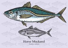 Horse Mackerel Stock Illustrations.