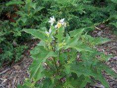 Veronica arvensis (Corn Speedwell).