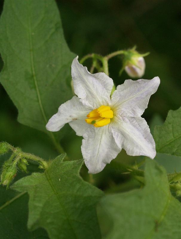 Horse Nettle Solanum carolinense.