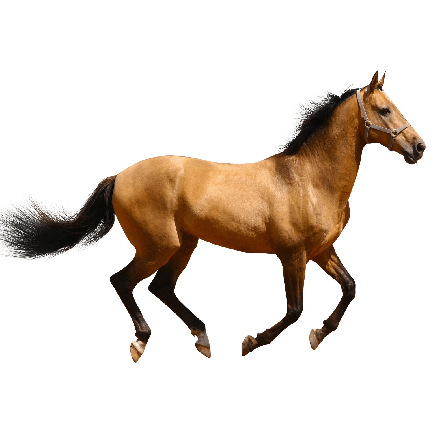 Horse Running Brown Sideview transparent PNG.