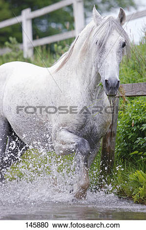 Stock Photography of andalusian horse.