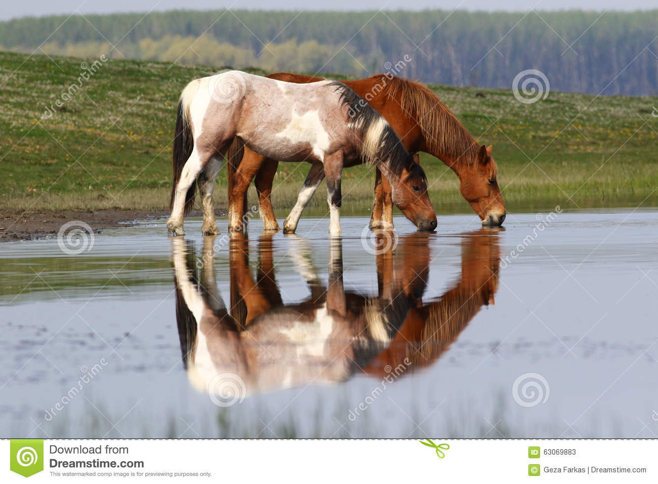 Wild Horses Drinking In Pond Royalty Free Stock Image.