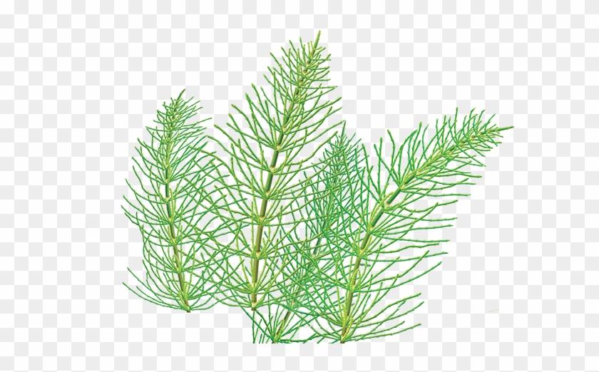 Horsetail Herbal Supplement.