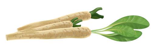 Horseradish Stock Illustrations.