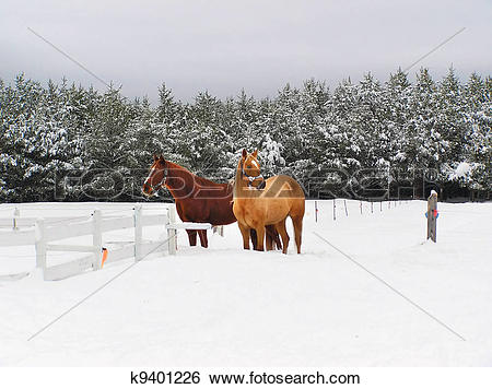 Stock Images of Beautiful horses in the snow k9401226.