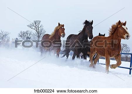 Stock Photo of Horses running in the snow, Hokkaido frtb000224.