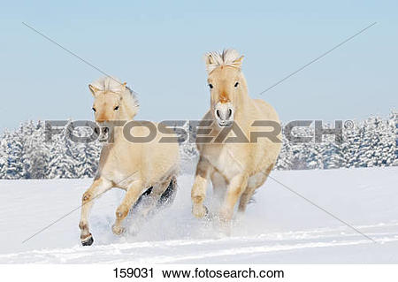 Stock Photography of two young Norwegian Fjord Horses.