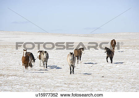 Stock Photo of Horses in snow covered pasture. u15977352.