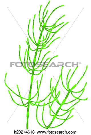 Clip Art of horsetail k20274618.