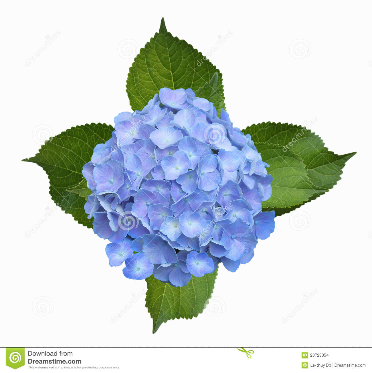 Hortensia Stock Photos, Images, & Pictures.