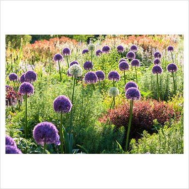 Weihenstephan gardens: Allium 'Ambassador', Allium 'Mount Everest.