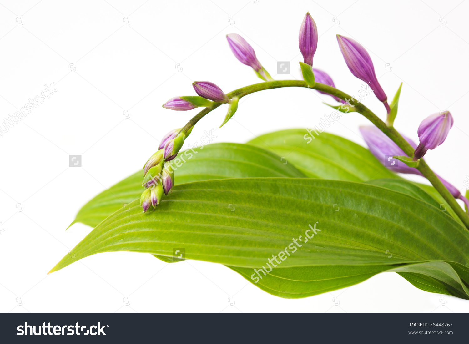Purple Hosta Flowers On Branch And Leaves Stock Photo 36448267.