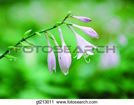 Stock Photography of Hosta longipes, lily, waterdrop, bud, sprout.