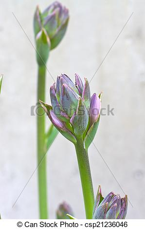 Stock Photo of Hosta Bud csp21236046.