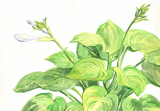 Hosta Clip Art, Vector Images & Illustrations.