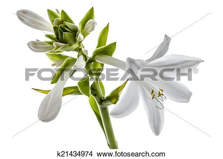 Drawings of Flowers Hosts, lat. Hosta, isolated on white.