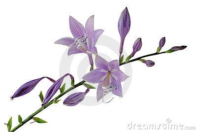 Purple Hosta Flowers Royalty Free Stock Photos.