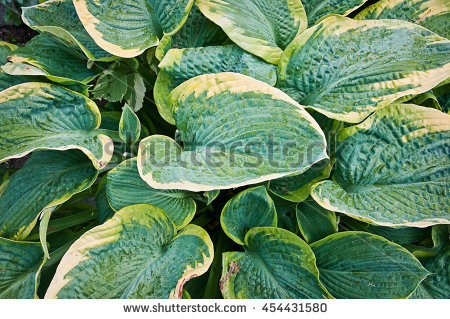 Hosta Stock Photos, Royalty.