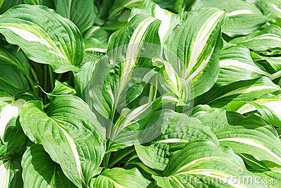 Hosta undulata albomarginata clipart #14