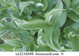 Hosta Stock Photo Images. 939 hosta royalty free pictures and.