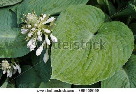 White Flower Hosta Leaves Stock Photos, Royalty.