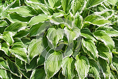 Solid Green Hosta Leaf Royalty Free Stock Photo.