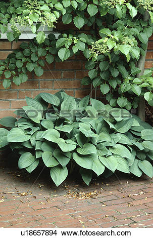 Stock Photo of Close up of hostas below small tree against wall.