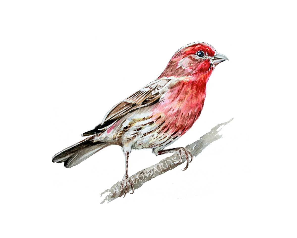 House finch clipart.
