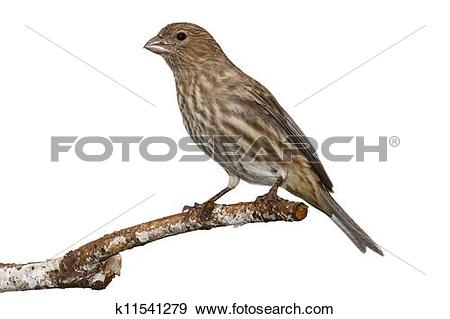 Stock Photograph of Female House Finch k11541279.
