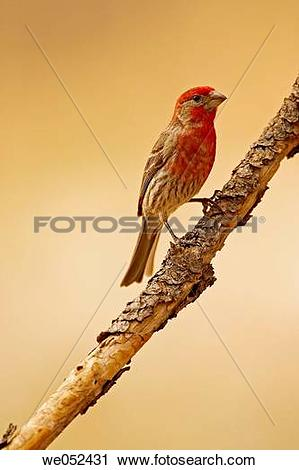 Stock Photography of House Finch (Carpodacus mexicanus), male.