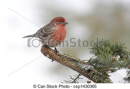 Stock Images of House Finch In Snow.