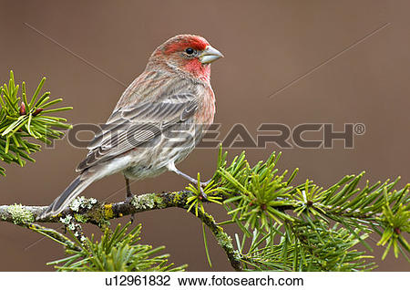 Stock Photo of House Finch, Victoria, Vancouver Island, British.