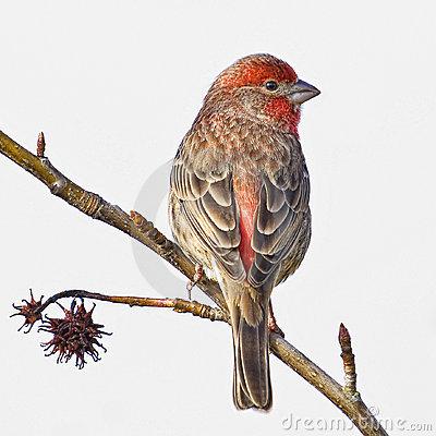 House Finch Male Small Bird Stock Photo.