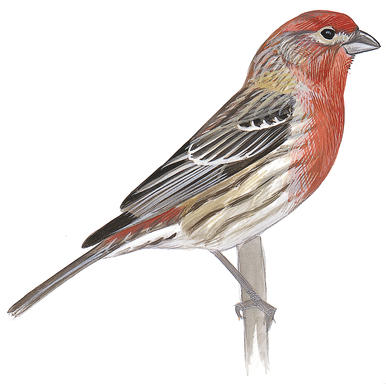 house finch clipart clipground