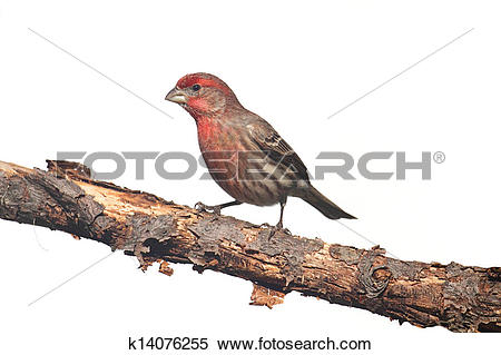 Stock Image of Male House Finch (Carpodacus mexicanus) on white.