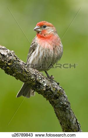 Stock Photo of House Finch (Carpodacus mexicanus), Canada.
