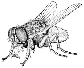 House Fly Free Clipart.