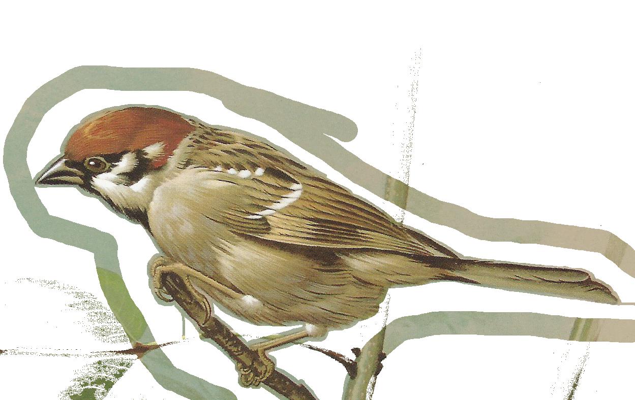 House sparrow clipart.