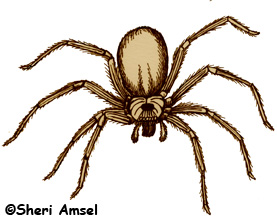 Brown recluse spider clipart.