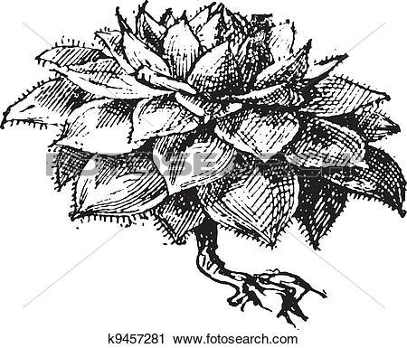 Clipart of Houseleek or Sempervivum sp., vintage engraving.
