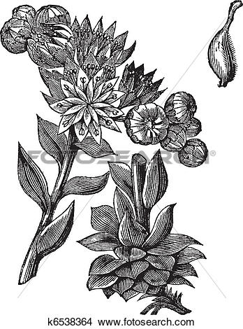 Clipart of Common Houseleek or Sempervivum tectorum vintage.